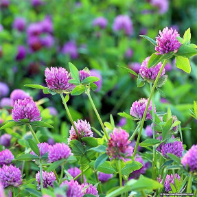 red-clover-3_1024x